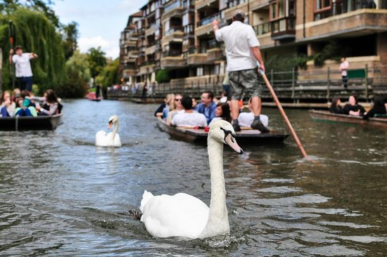 The River Cam : Swans and ducks may chase you if you have Sandwiches!