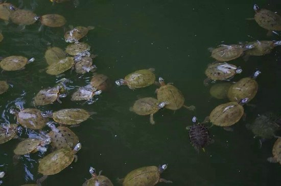 Green Turtle Bay Resort: Turtles waiting to be fed