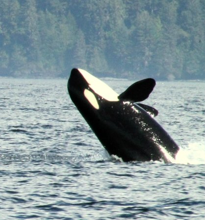 SpringTide Whale Watching & Charters : Orca whale August 31 2014