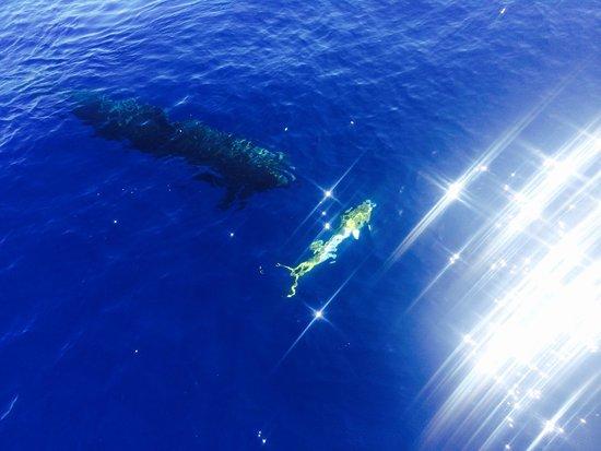 Wild Side Specialty Tours: False killer whale about to eat a mahimahi