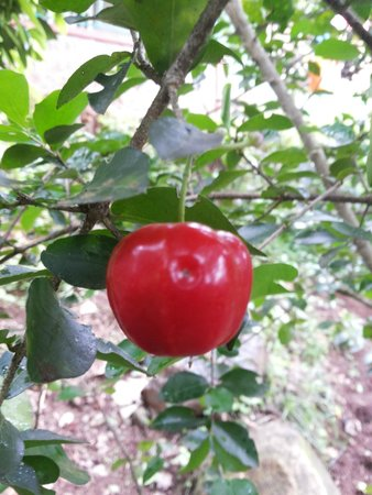 Harithavanam Farm House: cherry fruit