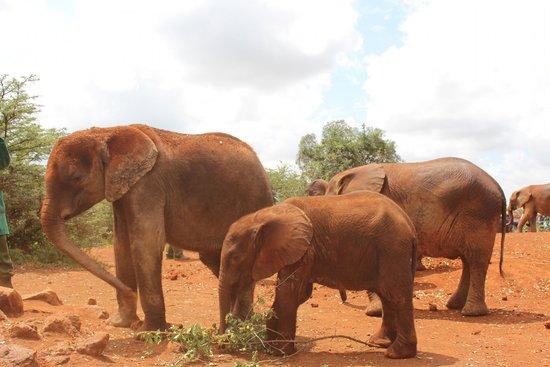 David Sheldrick Wildlife Trust : Baby elephants after being fed