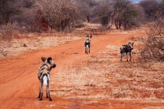 Sanctuary Makanyane Safari Lodge: Wild dogs on the hunt