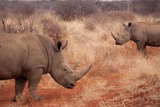 Sanctuary Makanyane Safari Lodge: White Rhino aplenty