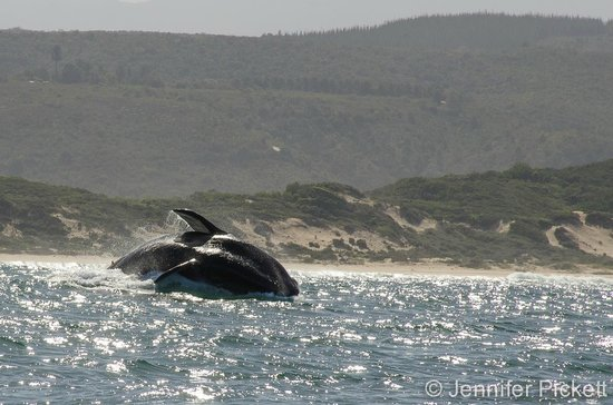 Ocean Safaris: Whale watching in Plettenberg Bay