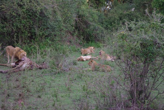 Gamewatchers Adventure Camp, Ol Kinyei: lion pride in the conservancy