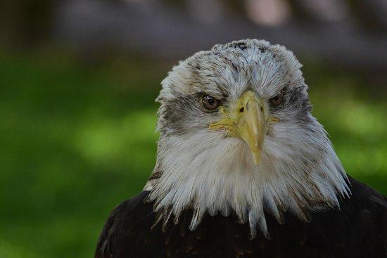 The International Centre for Birds of Prey: American Bald Eagle