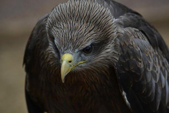 The International Centre for Birds of Prey: Black Kite