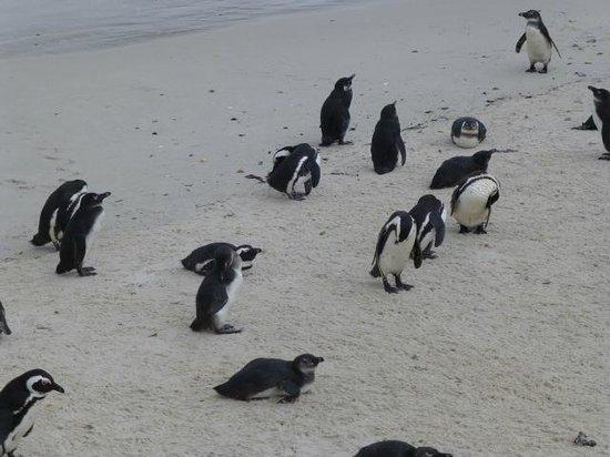 Cape Convoy: Penguins at Boulder Beach