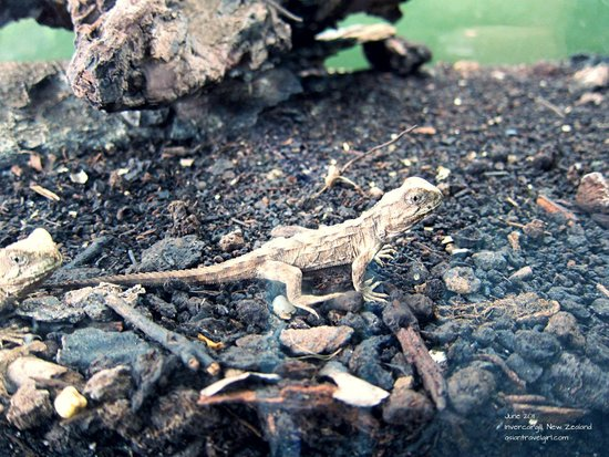 Southland Museum and Art Gallery: Henry the tuatara