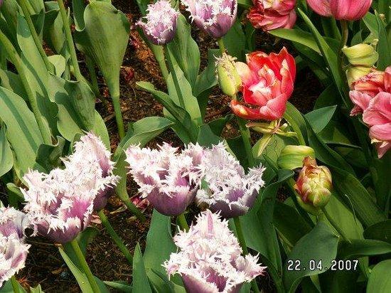 Parco Giardino Sigurta : tulips