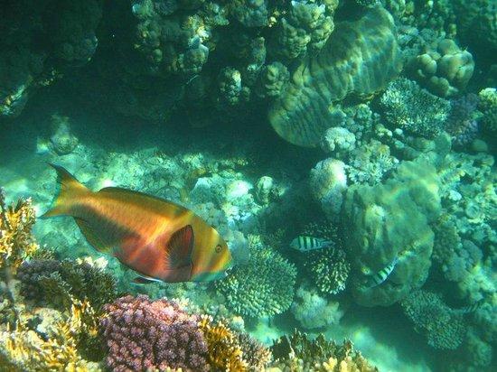 Coral Beach Resort Tiran: риф. рыба-попугай