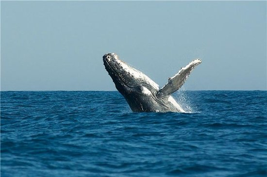 Southern Right whales see on the Sardine Run, Port St Johns, South ...