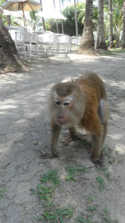 Cape Panwa Hotel: Monkey (wild) on the beach regular visitor!!