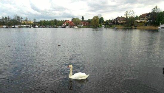 Golebiewski: озеро с лебедями