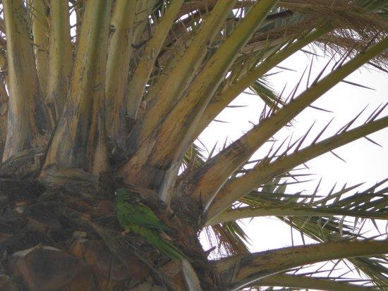 Relaxia Olivina: Perruches dans palmiers vers piscine hotel
