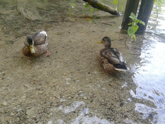 Plitvice Lakes : Ducks