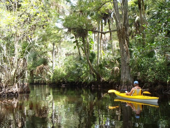Loxahatchee River : old cypress