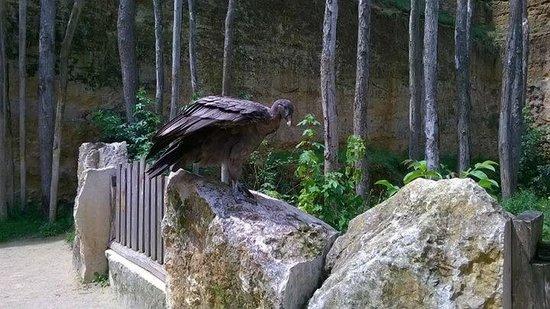 Bioparc de Doué la Fontaine : Vulture