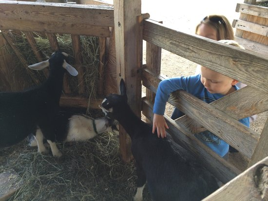 Petting the animals at Shelburne Farms