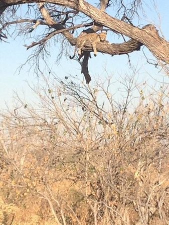 Sanctuary Chief's Camp : what a great treat to find this leopard