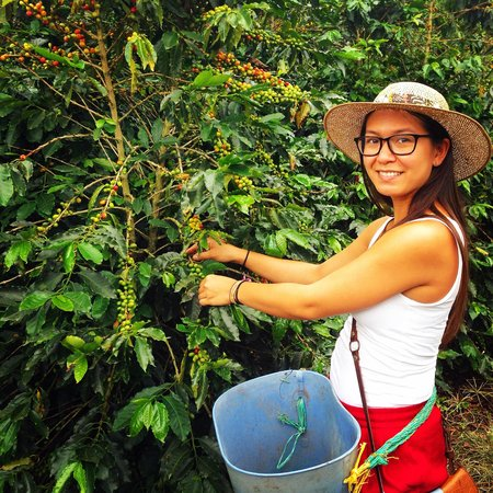 Hacienda Guayabal: Picking Beans