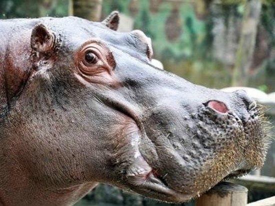 São Vicente, SP: Hipopótamo, Hipoppotamus amphibius