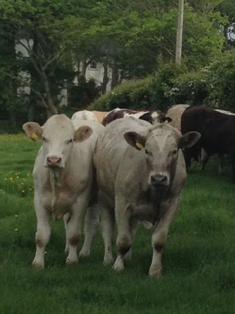 Lastra Farm Hotel & Restaurant : Cows in field walking over to see us