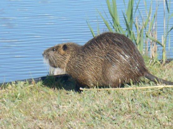 Le Parc Ornithologique de Pont de Gau : castor