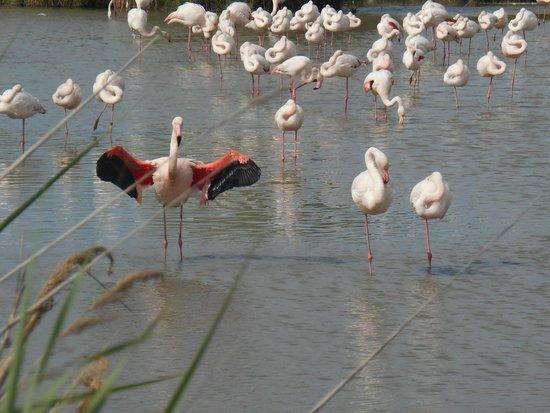 Le Parc Ornithologique de Pont de Gau : flamands