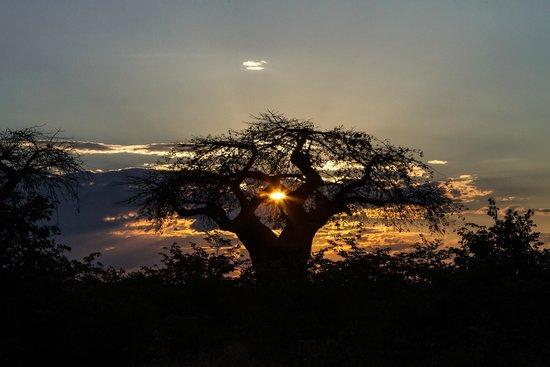 Ghoha Hills Savuti : Sunset at a baobab tree near the camp