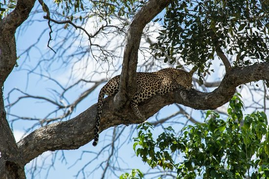 Ghoha Hills Savuti: A relaxed leopard seen during a game drive
