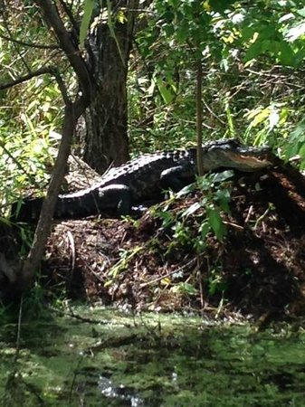 Champagne's Cajun Swamp Tours: Mom on her nest