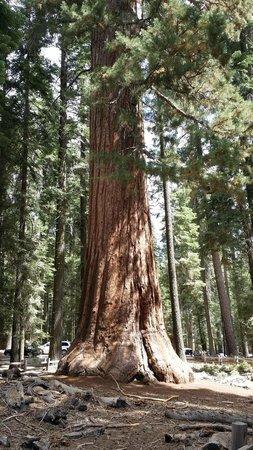 Mariposa Grove of Giant Sequoias: beautiful