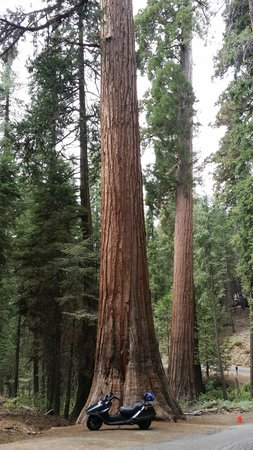 Mariposa Grove of Giant Sequoias: tree