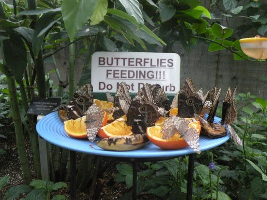 Niagara Parks Butterfly Conservatory: Butterfly diner