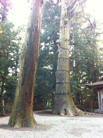 Takachiho Shrine: 杉の木