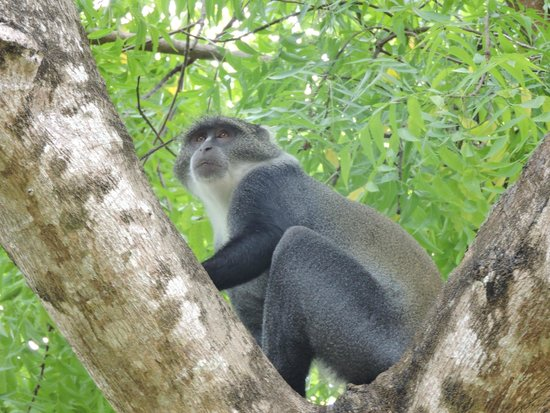 Kenyaways Beach Bed & Breakfast: you can see many monkeys around