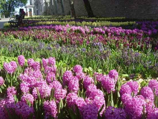Gulhane Park: Hyacinths by the thousands