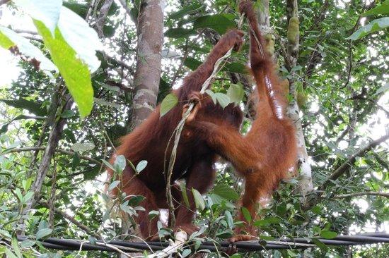 Semenggoh Nature Reserve: Orangutan