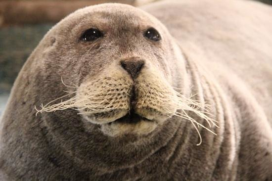 Svalbard Museum: seal