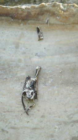 Maya-Ruinen von Altun Ha: Fascinating, desicated frog