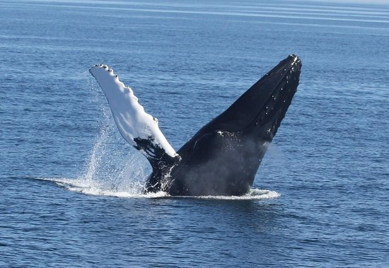Hyannis Whale Watcher Cruises: Breaching