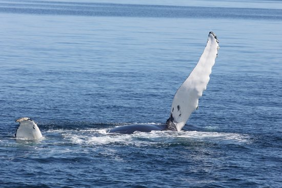 Hyannis Whale Watcher Cruises: Fin flapping