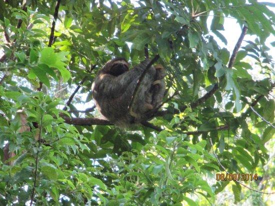 Villa Mareas : Cinderella, the Mareas sloth and her 5 day old baby!