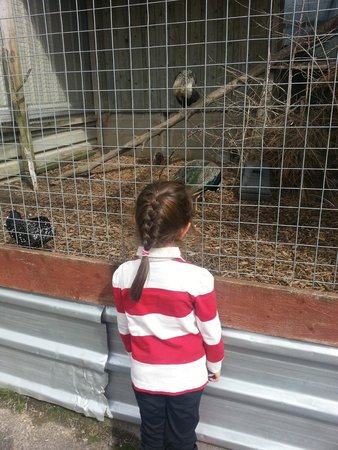 Bowland Wild Boar Park: bird, peacock