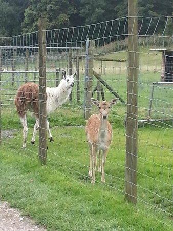 Bowland Wild Boar Park: llama