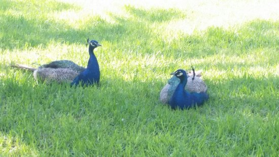 Playa de La Mata: Peacocks in the park