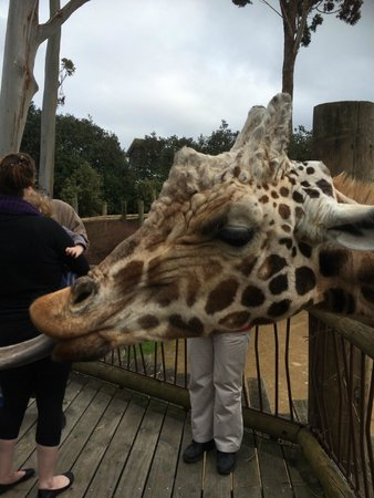 Auckland Zoo : Feeding the giraffe was a highlight for the kids.