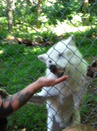 Wolf Conservation Center: Handler feeding